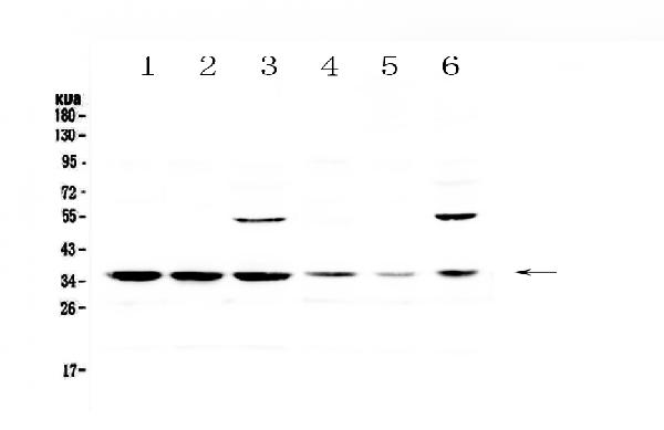 Figure 1. Western blot analysis of JunD using anti-JunD antibody (A05609-1).  <br>Electrophoresis was performed on a 5-20% SDS-PAGE gel at 70V (Stacking gel) / 90V (Resolving gel) for 2-3 hours. The sample well of each lane was loaded with 50ug of sample under reducing conditions.  <br>Lane 1: rat spleen tissue lysates,<br>Lane 2: rat lung tissue lysates,<br>Lane 3: rat testis tissue lysates,<br>Lane 4: mouse spleen tissue lysates,<br>Lane 5: mouse lung tissue lysates,<br>Lane 6: mouse testis tissue lysates.  <br>After Electrophoresis, proteins were transferred to a Nitrocellulose membrane at 150mA for 50-90 minutes. Blocked the membrane with 5% Non-fat Milk/ TBS for 1.5 hour at RT. The membrane was incubated with rabbit anti-JunD antigen affinity purified polyclonal antibody (Catalog # A05609-1) at 0.5 μg/mL overnight at 4°C, then washed with TBS-0.1%Tween 3 times with 5 minutes each and probed with a goat anti-rabbit IgG-HRP secondary antibody at a dilution of 1:10000 for 1.5 hour at RT. The signal is developed using an Enhanced Chemiluminescent detection (ECL) kit (Catalog # EK1002) with Tanon 5200 system. A specific band was detected for JunD at approximately 35KD. The expected band size for JunD is at 35KD.
