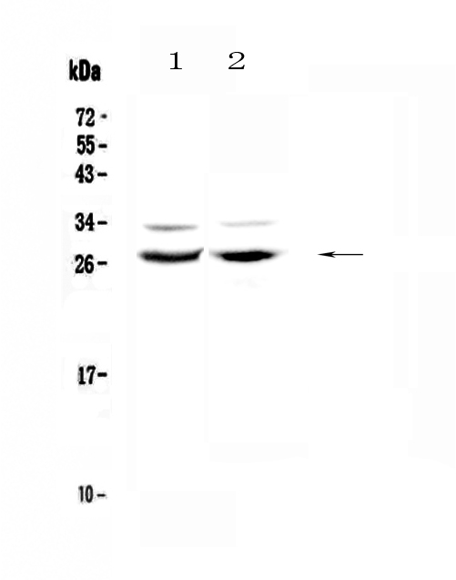 Figure 1. Western blot analysis of Mad using anti-Mad antibody (A06485-1).  <br>Electrophoresis was performed on a 5-20% SDS-PAGE gel at 70V (Stacking gel) / 90V (Resolving gel) for 2-3 hours. The sample well of each lane was loaded with 50ug of sample under reducing conditions.  <br>Lane 1: rat testis tissue lysates,<br>Lane 2: mouse ovary tissue lysates.  <br>After Electrophoresis, proteins were transferred to a Nitrocellulose membrane at 150mA for 50-90 minutes. Blocked the membrane with 5% Non-fat Milk/ TBS for 1.5 hour at RT. The membrane was incubated with rabbit anti-Mad antigen affinity purified polyclonal antibody (Catalog # A06485-1) at 0.5 μg/mL overnight at 4°C, then washed with TBS-0.1%Tween 3 times with 5 minutes each and probed with a goat anti-rabbit IgG-HRP secondary antibody at a dilution of 1:10000 for 1.5 hour at RT. The signal is developed using an Enhanced Chemiluminescent detection (ECL) kit (Catalog # EK1002) with Tanon 5200 system. A specific band was detected for Mad at approximately 28KD. The expected band size for Mad is at 25KD.