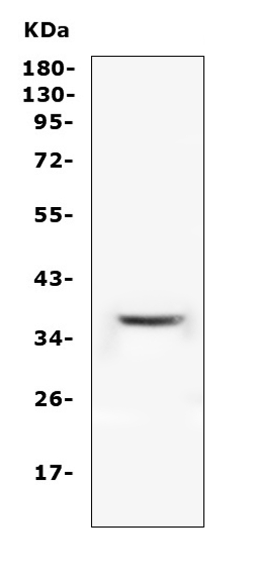 Figure 1. Western blot analysis of PPA2 using anti-PPA2 antibody (A06587). <br> Electrophoresis was performed on a 5-20% SDS-PAGE gel at 70V (Stacking gel) / 90V (Resolving gel) for 2-3 hours. The sample well of each lane was loaded with 50ug of sample under reducing conditions. <br> Lane 1: human THP-1 whole cell lysates. <br> After Electrophoresis, proteins were transferred to a Nitrocellulose membrane at 150mA for 50-90 minutes. Blocked the membrane with 5% Non-fat Milk/ TBS for 1.5 hour at RT. The membrane was incubated with rabbit anti-PPA2 antigen affinity purified polyclonal antibody (Catalog # A06587) at 0.5 μg/mL overnight at 4°C, then washed with TBS-0.1%Tween 3 times with 5 minutes each and probed with a goat anti-rabbit IgG-HRP secondary antibody at a dilution of 1:10000 for 1.5 hour at RT. The signal is developed using an Enhanced Chemiluminescent detection (ECL) kit (Catalog # EK1002) with Tanon 5200 system. A specific band was detected for PPA2 at approximately 38KD. The expected band size for PPA2 is at 38KD.