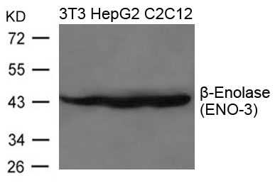 Figure 1. Western blot analysis of ENO3 using anti-ENO3 antibody (A06845).<br>Electrophoresis was performed on a 5-20% SDS-PAGE gel at 70V (Stacking gel) / 90V (Resolving gel) for 2-3 hours. The sample well of each lane was loaded with 50ug of sample under reducing conditions. <br>After Electrophoresis, proteins were transferred to a Nitrocellulose membrane at 150mA for 50-90 minutes. Blocked the membrane with 5% Non-fat Milk/ TBS for 1.5 hour at RT. The membrane was incubated with rabbit anti-ENO3 antigen affinity purified polyclonal antibody (Catalog # A06845) at 0.5 ug/mL overnight at 4°C, then washed with TBS-0.1%Tween 3 times with 5 minutes each and probed with a goat anti-Rabbit IgG-HRP secondary antibody at a dilution of 1:10000 for 1.5 hour at RT. The signal is developed using an Enhanced Chemiluminescent detection (ECL) kit (Catalog # SA1022) with Tanon 5200 system. A specific band was detected for ENO3.