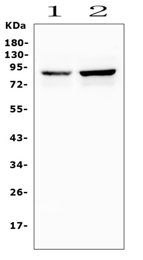 Figure 1. Western blot analysis of SEMA3E using anti-SEMA3E antibody (A06937-2). <br> Electrophoresis was performed on a 5-20% SDS-PAGE gel at 70V (Stacking gel) / 90V (Resolving gel) for 2-3 hours. The sample well of each lane was loaded with 50ug of sample under reducing conditions. <br> Lane 1: human U2OS whole cell lysates, <br> Lane 2: human U-87MG whole cell lysates. <br> After Electrophoresis, proteins were transferred to a Nitrocellulose membrane at 150mA for 50-90 minutes. Blocked the membrane with 5% Non-fat Milk/ TBS for 1.5 hour at RT. The membrane was incubated with rabbit anti-SEMA3E antigen affinity purified polyclonal antibody (Catalog # A06937-2) at 0.5 μg/mL overnight at 4°C, then washed with TBS-0.1%Tween 3 times with 5 minutes each and probed with a goat anti-rabbit IgG-HRP secondary antibody at a dilution of 1:10000 for 1.5 hour at RT. The signal is developed using an Enhanced Chemiluminescent detection (ECL) kit (Catalog # EK1002) with Tanon 5200 system. A specific band was detected for SEMA3E at approximately 89KD. The expected band size for SEMA3E is at 89KD.