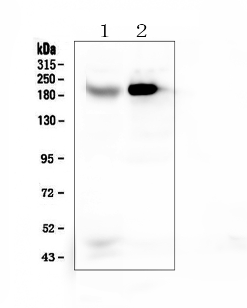Figure 1. Western blot analysis of RRBP1 using anti-RRBP1 antibody (A07074-1). <br>Electrophoresis was performed on a 5-20% SDS-PAGE gel at 70V (Stacking gel) / 90V (Resolving gel) for 2-3 hours. The sample well of each lane was loaded with 50ug of sample under reducing conditions. <br>Lane 1: human Caco-2 whole cell lysates,<br>Lane 2: human HepG2 whole cell lysates. <br>After Electrophoresis, proteins were transferred to a Nitrocellulose membrane at 150mA for 50-90 minutes. Blocked the membrane with 5% Non-fat Milk/ TBS for 1.5 hour at RT. The membrane was incubated with rabbit anti-RRBP1 antigen affinity purified polyclonal antibody (Catalog # A07074-1) at 0.5 μg/mL overnight at 4°C, then washed with TBS-0.1%Tween 3 times with 5 minutes each and probed with a goat anti-rabbit IgG-HRP secondary antibody at a dilution of 1:10000 for 1.5 hour at RT. The signal is developed using an Enhanced Chemiluminescent detection (ECL) kit (Catalog # EK1002) with Tanon 5200 system. A specific band was detected for RRBP1 at approximately 200KD. The expected band size for RRBP1 is at 152KD.