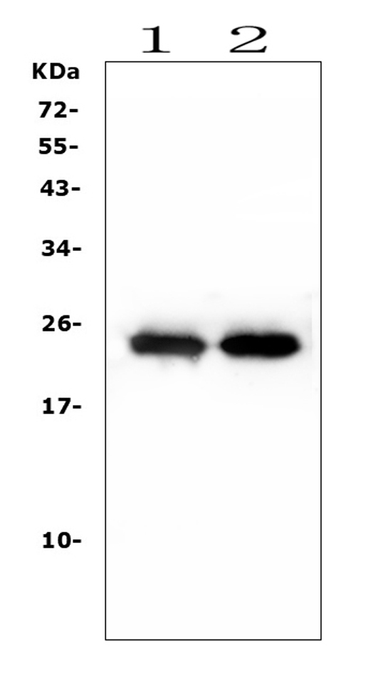 Figure 6. Western blot analysis of TNNI2 using anti-TNNI2 antibody (A07355-2). <br> Electrophoresis was performed on a 5-20% SDS-PAGE gel at 70V (Stacking gel) / 90V (Resolving gel) for 2-3 hours. The sample well of each lane was loaded with 50ug of sample under reducing conditions. <br> Lane 1: rat skeletal muscle issue lysates, <br> Lane 2: mouse skeletal muscle issue lysates. <br> After Electrophoresis, proteins were transferred to a Nitrocellulose membrane at 150mA for 50-90 minutes. Blocked the membrane with 5% Non-fat Milk/ TBS for 1.5 hour at RT. The membrane was incubated with rabbit anti-TNNI2 antigen affinity purified polyclonal antibody (Catalog # A07355-2) at 0.5 μg/mL overnight at 4°C, then washed with TBS-0.1%Tween 3 times with 5 minutes each and probed with a goat anti-rabbit IgG-HRP secondary antibody at a dilution of 1:10000 for 1.5 hour at RT. The signal is developed using an Enhanced Chemiluminescent detection (ECL) kit (Catalog # EK1002) with Tanon 5200 system. A specific band was detected for TNNI2 at approximately 24KD. The expected band size for TNNI2 is at 21KD.
