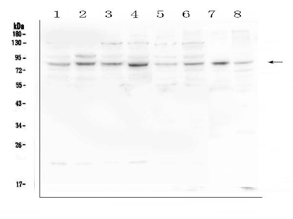 Figure 1. Western blot analysis of HOOK3 using anti-HOOK3 antibody (A07701-1). <br>Electrophoresis was performed on a 5-20% SDS-PAGE gel at 70V (Stacking gel) / 90V (Resolving gel) for 2-3 hours. The sample well of each lane was loaded with 50ug of sample under reducing conditions. <br>Lane 1: human Hela whole cell lysates,<br>Lane 2: human U-87MG whole cell lysates,<br>Lane 3: human U2OS whole cell lysates,<br>Lane 4: human K562 whole cell lysates,<br>Lane 5: human Caco-2 whole cell lysates,<br>Lane 6: human A549 whole cell lysates,<br>Lane 7: rat heart tissue lysates,<br>Lane 8: mouse heart tissue lysates. <br>After Electrophoresis, proteins were transferred to a Nitrocellulose membrane at 150mA for 50-90 minutes. Blocked the membrane with 5% Non-fat Milk/ TBS for 1.5 hour at RT. The membrane was incubated with rabbit anti-HOOK3 antigen affinity purified polyclonal antibody (Catalog # A07701-1) at 0.5 μg/mL overnight at 4°C, then washed with TBS-0.1%Tween 3 times with 5 minutes each and probed with a goat anti-rabbit IgG-HRP secondary antibody at a dilution of 1:10000 for 1.5 hour at RT. The signal is developed using an Enhanced Chemiluminescent detection (ECL) kit (Catalog # EK1002) with Tanon 5200 system. A specific band was detected for HOOK3 at approximately 83KD. The expected band size for HOOK3 is at 83KD.