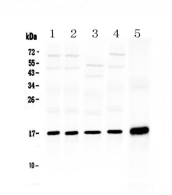<b>Figure 1. Western blot analysis of Hsp20 using anti-Hsp20 antibody (A07981-1).  </b><br>Electrophoresis was performed on a 5-20% SDS-PAGE gel at 70V (Stacking gel) / 90V (Resolving gel) for 2-3 hours. The sample well of each lane was loaded with 50ug of sample under reducing conditions.  <br>Lane 1: rat cardiac muscle tissue lysate,<br>Lane 2: rat skeletal muscle tissue lysate,<br>Lane 3: rat testis tissue lysate,<br>Lane 4: mouse testis tissue lysate,<br>Lane 5: human A431 whole Cell lysate.<br>After Electrophoresis, proteins were transferred to a Nitrocellulose membrane at 150mA for 50-90 minutes. Blocked the membrane with 5% Non-fat Milk/ TBS for 1.5 hour at RT. The membrane was incubated with rabbit anti-Hsp20 antigen affinity purified polyclonal antibody (Catalog # A07981-1) at 0.5 μg/mL overnight at 4°C, then washed with TBS-0.1%Tween 3 times with 5 minutes each and probed with a goat anti-rabbit IgG-HRP secondary antibody at a dilution of 1:10000 for 1.5 hour at RT. The signal is developed using an Enhanced Chemiluminescent detection (ECL) kit (Catalog # EK1002) with Tanon 5200 system. A specific band was detected for Hsp20 at approximately 17KD. The expected band size for Hsp20 is at 17KD.