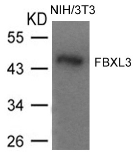 Figure 1. Western blot analysis of Fbxl3 using anti-Fbxl3 antibody (A08330).<br>Electrophoresis was performed on a 5-20% SDS-PAGE gel at 70V (Stacking gel) / 90V (Resolving gel) for 2-3 hours. The sample well of each lane was loaded with 50ug of sample under reducing conditions. <br>After Electrophoresis, proteins were transferred to a Nitrocellulose membrane at 150mA for 50-90 minutes. Blocked the membrane with 5% Non-fat Milk/ TBS for 1.5 hour at RT. The membrane was incubated with rabbit anti-Fbxl3 antigen affinity purified polyclonal antibody (Catalog # A08330) at 0.5 ug/mL overnight at 4°C, then washed with TBS-0.1%Tween 3 times with 5 minutes each and probed with a goat anti-Rabbit IgG-HRP secondary antibody at a dilution of 1:10000 for 1.5 hour at RT. The signal is developed using an Enhanced Chemiluminescent detection (ECL) kit (Catalog # SA1022) with Tanon 5200 system. A specific band was detected for Fbxl3.