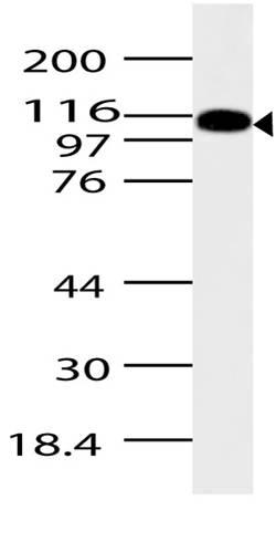 Western blot analysis of ASAP2. Anti-ASAP2 antibody was used at 4 &mu