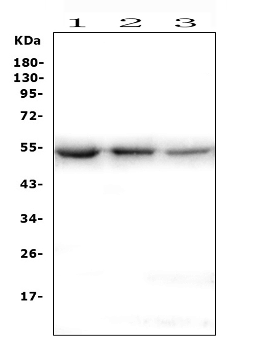 Figure 1. Western blot analysis of ONECUT2 using anti-ONECUT2 antibody (A09652-1). <br> Electrophoresis was performed on a 5-20% SDS-PAGE gel at 70V (Stacking gel) / 90V (Resolving gel) for 2-3 hours. The sample well of each lane was loaded with 50ug of sample under reducing conditions. <br> Lane 1: human K562 whole cell lysates, <br> Lane 2: human HEK293 whole cell lysates, <br> Lane 3: human HepG2  whole cell lysates. <br> After Electrophoresis, proteins were transferred to a Nitrocellulose membrane at 150mA for 50-90 minutes. Blocked the membrane with 5% Non-fat Milk/ TBS for 1.5 hour at RT. The membrane was incubated with rabbit anti-ONECUT2 antigen affinity purified polyclonal antibody (Catalog # A09652-1) at 0.5 μg/mL overnight at 4°C, then washed with TBS-0.1%Tween 3 times with 5 minutes each and probed with a goat anti-rabbit IgG-HRP secondary antibody at a dilution of 1:10000 for 1.5 hour at RT. The signal is developed using an Enhanced Chemiluminescent detection (ECL) kit (Catalog # EK1002) with Tanon 5200 system. A specific band was detected for ONECUT2 at approximately 54KD. The expected band size for ONECUT2 is at 54KD.