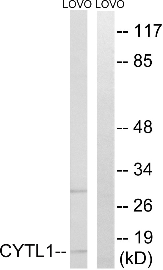 Western blot analysis of lysates from LOVO cells, using CYTL1 Antibody. The lane on the right is blocked with the synthesized peptide.