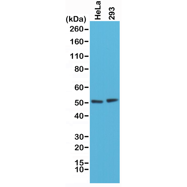 Figure 1. Western Blotting result<br>Western Blot of HeLa and 293 cells lysates using Anti-PTEN Rabbit Monoclonal Antibody (Clone RM265) at a 1:1000 dilution.