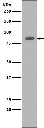 Western blot analysis of STAT3 expression in Raji cell lysate (M00007-1). <br>Electrophoresis was performed on a 5-20% SDS-PAGE gel at 70V (Stacking gel) / 90V (Resolving gel) for 2-3 hours. The sample well of each lane was loaded with 50ug of sample under reducing conditions. <br> After Electrophoresis, proteins were transferred to a Nitrocellulose membrane at 150mA for 50-90 minutes. Blocked the membrane with 5% Non-fat Milk/ TBS for 1.5 hour at RT. The membrane was incubated with rabbit anti-STAT3 monoclonal antibody (Catalog # M00007-1)  overnight at 4℃, then washed with TBS-0.1%Tween 3 times with 5 minutes each and probed with a goat anti-rabbit IgG-HRP secondary antibody at a dilution of 1:10000 for 1.5 hour at RT. The signal is developed using an Enhanced Chemiluminescent detection (ECL) kit (Catalog # EK1002) with Tanon 5200 system. A specific band was detected for STAT3