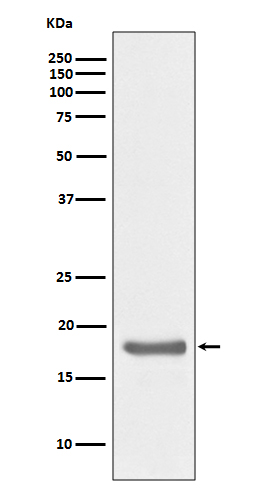 Figure 1. Western blot analysis of IL10 using anti-IL10 antibody (M00021) on Ramos cell lysate.<br>Electrophoresis was performed on a 5-20% SDS-PAGE gel at 70V (Stacking gel) / 90V (Resolving gel) for 2-3 hours. The sample well of each lane was loaded with 50ug of sample under reducing conditions. <br>After Electrophoresis, proteins were transferred to a Nitrocellulose membrane at 150mA for 50-90 minutes. Blocked the membrane with 5% Non-fat Milk/ TBS for 1.5 hour at RT. The membrane was incubated with rabbit anti-IL10 antigen affinity purified polyclonal antibody (Catalog # M00021) at 0.5 ug/mL overnight at 4°C, then washed with TBS-0.1%Tween 3 times with 5 minutes each and probed with a goat anti-Rabbit IgG IgG-HRP secondary antibody at a dilution of 1:10000 for 1.5 hour at RT. The signal is developed using an Enhanced Chemiluminescent detection (ECL) kit (Catalog # SA1022) with Tanon 5200 system. A specific band was detected for IL10.