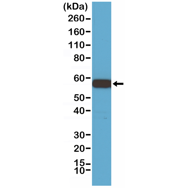Figure 1. Western Blotting result<br>Western Blot of 293 cell lysate, using Anti-Akt1 RM252 at a 1:1000 dilution, showed Akt1 (~56 kDa) expression in 293 cells.