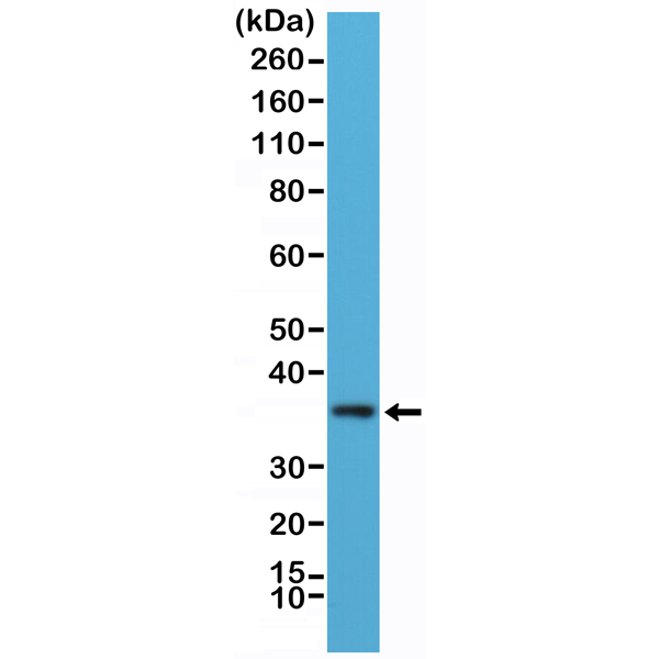 Figure 1. Western Blotting result<br>Western Blot of K562 cells lysate using anti-MyD88 rabbit monoclonal antibody (Clone RM306) at a 1:100 dilution.