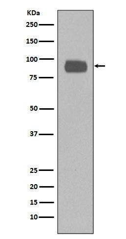 Anti-CD44 Rabbit Monoclonal Antibody
