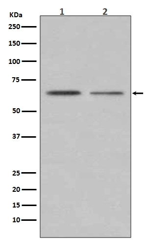 Western blot analysis of ER alpha expression in (1) MCF7 cell lysate; (2)T47-D cell lysate (M00057-2). <br>Electrophoresis was performed on a 5-20% SDS-PAGE gel at 70V (Stacking gel) / 90V (Resolving gel) for 2-3 hours. The sample well of each lane was loaded with 50ug of sample under reducing conditions. <br> After Electrophoresis, proteins were transferred to a Nitrocellulose membrane at 150mA for 50-90 minutes. Blocked the membrane with 5% Non-fat Milk/ TBS for 1.5 hour at RT. The membrane was incubated with rabbit anti-ESR1 monoclonal antibody (Catalog # M00057-2)  overnight at 4°C, then washed with TBS-0.1%Tween 3 times with 5 minutes each and probed with a goat anti-rabbit IgG-HRP secondary antibody at a dilution of 1:10000 for 1.5 hour at RT. The signal is developed using an Enhanced Chemiluminescent detection (ECL) kit (Catalog # EK1002) with Tanon 5200 system. A specific band was detected for ESR1