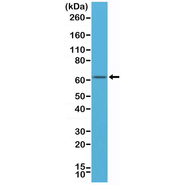 Figure 1. Western Blotting result<br>Western Blot of MCF-7 cell lysates using anti-ER-alpha rabbit monoclonal antibody (clone RM292) at a 1:500 dilution.
