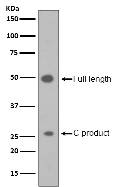 Western blot analysis of Sonic Hedgehog in HepG2 cell lysate (M00058). <br>Electrophoresis was performed on a 5-20% SDS-PAGE gel at 70V (Stacking gel) / 90V (Resolving gel) for 2-3 hours. The sample well of each lane was loaded with 50ug of sample under reducing conditions. <br> After Electrophoresis, proteins were transferred to a Nitrocellulose membrane at 150mA for 50-90 minutes. Blocked the membrane with 5% Non-fat Milk/ TBS for 1.5 hour at RT. The membrane was incubated with rabbit anti-SHH monoclonal antibody (Catalog # M00058)  overnight at 4?? then washed with TBS-0.1%Tween 3 times with 5 minutes each and probed with a goat anti-rabbit IgG-HRP secondary antibody at a dilution of 1:10000 for 1.5 hour at RT. The signal is developed using an Enhanced Chemiluminescent detection (ECL) kit (Catalog # EK1002) with Tanon 5200 system. A specific band was detected for SHH