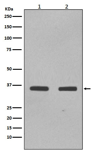 Western blot analysis of SOX2 expression in (1) NCCIT cell lysate; (2) F9 cell lysate (M00105-1). <br>Electrophoresis was performed on a 5-20% SDS-PAGE gel at 70V (Stacking gel) / 90V (Resolving gel) for 2-3 hours. The sample well of each lane was loaded with 50ug of sample under reducing conditions. <br> After Electrophoresis, proteins were transferred to a Nitrocellulose membrane at 150mA for 50-90 minutes. Blocked the membrane with 5% Non-fat Milk/ TBS for 1.5 hour at RT. The membrane was incubated with rabbit anti-SOX2 monoclonal antibody (Catalog # M00105-1)  overnight at 4°C, then washed with TBS-0.1%Tween 3 times with 5 minutes each and probed with a goat anti-rabbit IgG-HRP secondary antibody at a dilution of 1:10000 for 1.5 hour at RT. The signal is developed using an Enhanced Chemiluminescent detection (ECL) kit (Catalog # EK1002) with Tanon 5200 system. A specific band was detected for SOX2