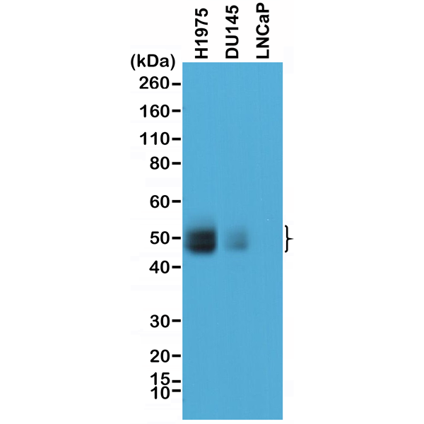 Figure 1. Western Blotting result<br>Western Blot of lysates of H1975, DU145, and LNCaP cells, using anti-PD-L1 rabbit monoclonal antibody (Clone RM320) at a 1:1000 dilution.