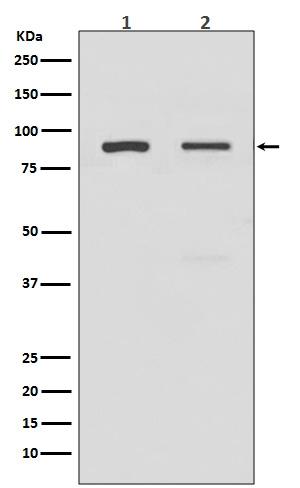 Anti-TLR2 Rabbit Monoclonal Antibody