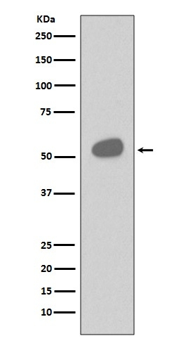 Anti-CD14 Rabbit Monoclonal Antibody