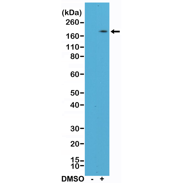 Figure 1. Western Blotting result<br>Western Blot of HL60 cell lysates, nontreated (-) or treated (+) with DMSO using anti-CD11b rabbit monoclonal antibody (clone RM290) at a 1:400 dilution.