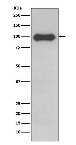 Anti-CD19 Rabbit Monoclonal Antibody