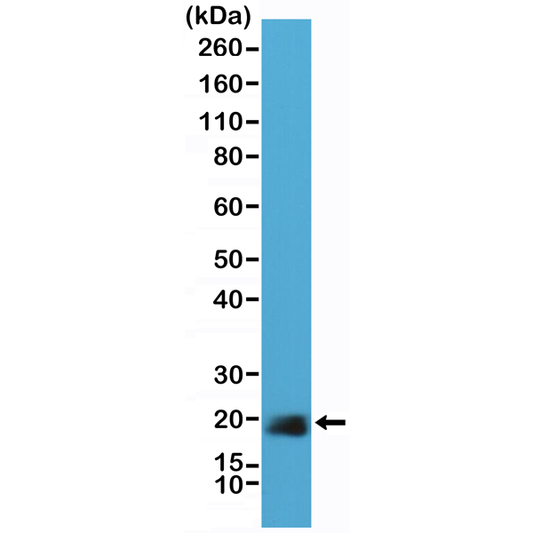 Figure 1. Western Blotting result<br>Western Blot of HeLa cell lysate using anti-Caveolin-1 rabbit monoclonal antibody (Clone RM325) at a 1:40,000 dilution.