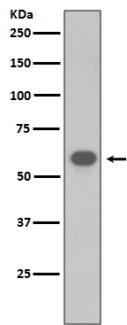 Western blot analysis of TRAF6 expression in NIH/3T3 cell lysate (M00185-1).