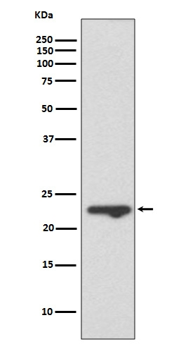 Western blot analysis of MUC1 expression in T47 D cell lysate (M00187-1). <br>Electrophoresis was performed on a 5-20% SDS-PAGE gel at 70V (Stacking gel) / 90V (Resolving gel) for 2-3 hours. The sample well of each lane was loaded with 50ug of sample under reducing conditions. <br> After Electrophoresis, proteins were transferred to a Nitrocellulose membrane at 150mA for 50-90 minutes. Blocked the membrane with 5% Non-fat Milk/ TBS for 1.5 hour at RT. The membrane was incubated with rabbit anti-MUC1 monoclonal antibody (Catalog # M00187-1)  overnight at 4°C, then washed with TBS-0.1%Tween 3 times with 5 minutes each and probed with a goat anti-rabbit IgG-HRP secondary antibody at a dilution of 1:10000 for 1.5 hour at RT. The signal is developed using an Enhanced Chemiluminescent detection (ECL) kit (Catalog # EK1002) with Tanon 5200 system. A specific band was detected for MUC1