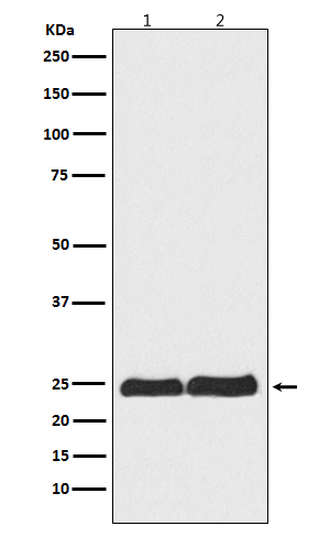 Figure 1. Western blot analysis of RAN using anti-RAN antibody (M00204).<br>Electrophoresis was performed on a 5-20% SDS-PAGE gel at 70V (Stacking gel) / 90V (Resolving gel) for 2-3 hours. The sample well of each lane was loaded with 50ug of sample under reducing conditions. <br>After Electrophoresis, proteins were transferred to a Nitrocellulose membrane at 150mA for 50-90 minutes. Blocked the membrane with 5% Non-fat Milk/ TBS for 1.5 hour at RT. The membrane was incubated with rabbit anti-RAN antigen affinity purified polyclonal antibody (Catalog # M00204) at 0.5 ug/mL overnight at 4°C, then washed with TBS-0.1%Tween 3 times with 5 minutes each and probed with a goat anti-Rabbit IgG IgG-HRP secondary antibody at a dilution of 1:10000 for 1.5 hour at RT. The signal is developed using an Enhanced Chemiluminescent detection (ECL) kit (Catalog # SA1022) with Tanon 5200 system. A specific band was detected for RAN.