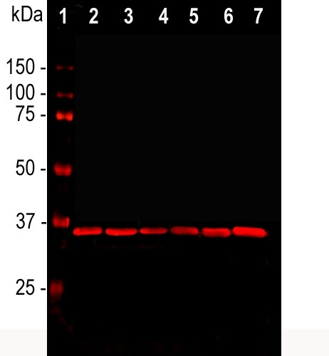 """Western blot analysis of cell line lysates probed with mouse mAb to GAPDH, M00227-3, dilution 1:2,000: [1] protein standard, [2] HEK293, [3] HeLa, [4] SH-SY5Y, [5] COS1, [6] NIH-3T3, and [7] C6 cells. The GAPDH antibody reveals a single band at ~37 kDa in all cell lines. GAPDH is a """"house keeping"""" protein, the level of which is relatively unaffected by most experimental manipulations, and, as a result, this antibody has been widely used as a western blotting loading control."""