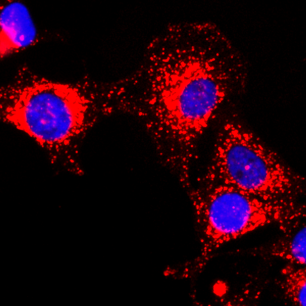 Figure 2. ICC result<br>Immunocytochemical staining of HeLa cells, using anti-GAPDH RevMAb Clone RM114 at 1/200 dilution (red). Nuclei have been labeled with DAPI (blue).