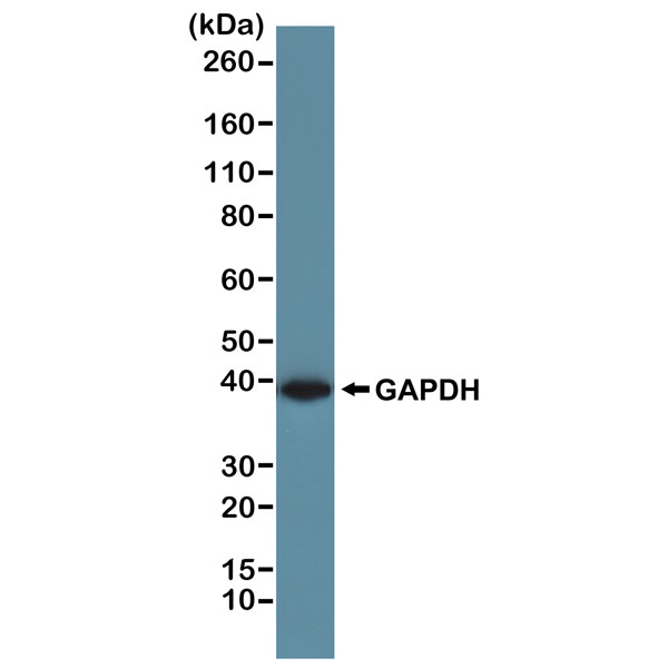 Figure 1. Western Blotting result<br>Western blot of A431 cells, using RevMAb Clone RM114 at 1/1000 dilution. A GAPDH band showed at the predicted MW (~36 kDa).