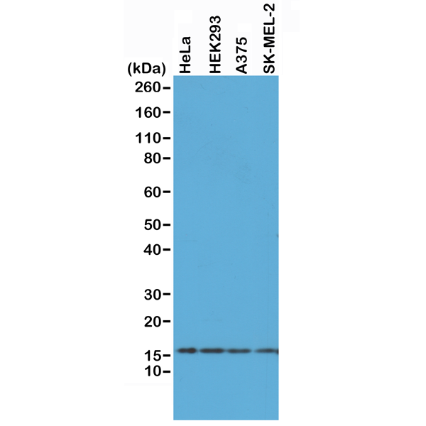 Figure 1. Western Blotting result<br>Western Blot of HeLa, HEK293, A375, and SK-MEL-2 whole cell lysates, using RM214 at 0.5 ug/mL, showed endogenous Histone H2AX in HeLa, HEK293, A375, and SK-MEL-2 cells.