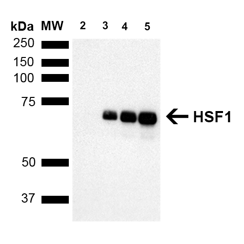 Figure 4. Western blot analysis of Hsf1 using anti-Hsf1 antibody (M00250).<br>Electrophoresis was performed on a 5-20% SDS-PAGE gel at 70V (Stacking gel) / 90V (Resolving gel) for 2-3 hours. The sample well of each lane was loaded with 50ug of sample under reducing conditions. <br>After Electrophoresis, proteins were transferred to a Nitrocellulose membrane at 150mA for 50-90 minutes. Blocked the membrane with 5% Non-fat Milk/ TBS for 1.5 hour at RT. The membrane was incubated with rabbit anti-Hsf1 antigen affinity purified polyclonal antibody (Catalog # M00250) at 0.5 ug/mL overnight at 4°C, then washed with TBS-0.1%Tween 3 times with 5 minutes each and probed with a goat anti-Rat IgG-HRP secondary antibody at a dilution of 1:10000 for 1.5 hour at RT. The signal is developed using an Enhanced Chemiluminescent detection (ECL) kit (Catalog # SA1025) with Tanon 5200 system. A specific band was detected for Hsf1.