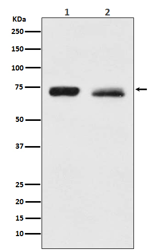 Figure 1. Western blot analysis of NF2 using anti-NF2 antibody (M00279).<br>Electrophoresis was performed on a 5-20% SDS-PAGE gel at 70V (Stacking gel) / 90V (Resolving gel) for 2-3 hours. The sample well of each lane was loaded with 50ug of sample under reducing conditions. <br>After Electrophoresis, proteins were transferred to a Nitrocellulose membrane at 150mA for 50-90 minutes. Blocked the membrane with 5% Non-fat Milk/ TBS for 1.5 hour at RT. The membrane was incubated with rabbit anti-NF2 antigen affinity purified polyclonal antibody (Catalog # M00279) at 0.5 ug/mL overnight at 4°C, then washed with TBS-0.1%Tween 3 times with 5 minutes each and probed with a goat anti-Rabbit IgG IgG-HRP secondary antibody at a dilution of 1:10000 for 1.5 hour at RT. The signal is developed using an Enhanced Chemiluminescent detection (ECL) kit (Catalog # SA1022) with Tanon 5200 system. A specific band was detected for NF2.