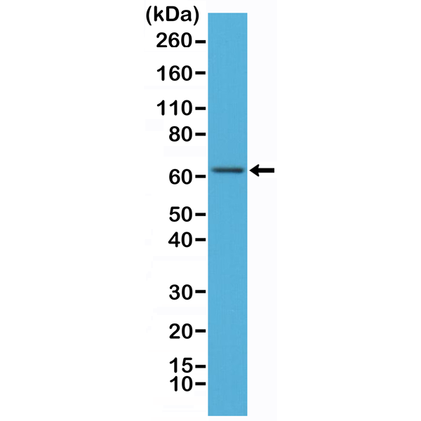Figure 1. Western Blotting result<br>Western Blot of MCF-7 cells lysates using Anti-NF?B p65 Rabbit Monoclonal Antibody (Clone RM273) at a 1:500 dilution.
