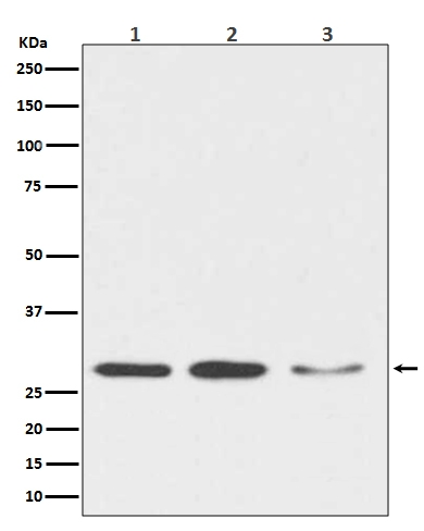 Western blot analysis of DDIT3 expression in (1) HeLa cell lysate; (2) NIH/3T3 cell lysate; (3) C6 cell lysate (M00311). <br>Electrophoresis was performed on a 5-20% SDS-PAGE gel at 70V (Stacking gel) / 90V (Resolving gel) for 2-3 hours. The sample well of each lane was loaded with 50ug of sample under reducing conditions. <br> After Electrophoresis, proteins were transferred to a Nitrocellulose membrane at 150mA for 50-90 minutes. Blocked the membrane with 5% Non-fat Milk/ TBS for 1.5 hour at RT. The membrane was incubated with rabbit anti-DDIT3 monoclonal antibody (Catalog # M00311)  overnight at 4°C, then washed with TBS-0.1%Tween 3 times with 5 minutes each and probed with a goat anti-rabbit IgG-HRP secondary antibody at a dilution of 1:10000 for 1.5 hour at RT. The signal is developed using an Enhanced Chemiluminescent detection (ECL) kit (Catalog # EK1002) with Tanon 5200 system. A specific band was detected for DDIT3