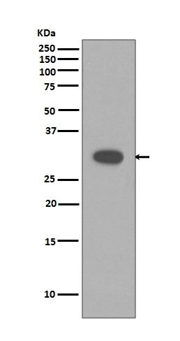 Anti-Caspase-3 Rabbit Monoclonal Antibody