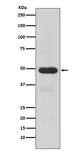 Figure 1. Western blot analysis of CYP3A4 using anti-CYP3A4 antibody (M00339) in Human fetal liver lysate.<br>Electrophoresis was performed on a 5-20% SDS-PAGE gel at 70V (Stacking gel) / 90V (Resolving gel) for 2-3 hours. The sample well of each lane was loaded with 50ug of sample under reducing conditions. <br>After Electrophoresis, proteins were transferred to a Nitrocellulose membrane at 150mA for 50-90 minutes. Blocked the membrane with 5% Non-fat Milk/ TBS for 1.5 hour at RT. The membrane was incubated with rabbit anti-CYP3A4 antigen affinity purified polyclonal antibody (Catalog # M00339) at 0.5 ug/mL overnight at 4°C, then washed with TBS-0.1%Tween 3 times with 5 minutes each and probed with a goat anti-Rabbit IgG IgG-HRP secondary antibody at a dilution of 1:10000 for 1.5 hour at RT. The signal is developed using an Enhanced Chemiluminescent detection (ECL) kit (Catalog # SA1022) with Tanon 5200 system. A specific band was detected for CYP3A4.
