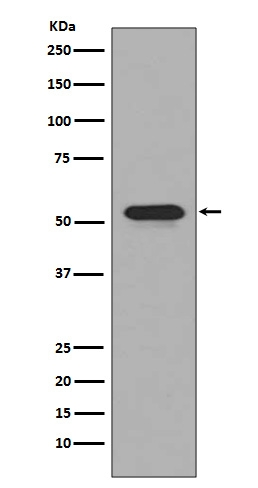 Anti-CD4 Rabbit Monoclonal Antibody