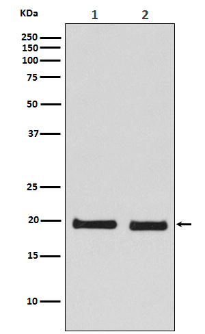 Figure 1. Western blot analysis of SKP1 using anti-SKP1 antibody (M00476).<br>Electrophoresis was performed on a 5-20% SDS-PAGE gel at 70V (Stacking gel) / 90V (Resolving gel) for 2-3 hours. The sample well of each lane was loaded with 50ug of sample under reducing conditions. <br>After Electrophoresis, proteins were transferred to a Nitrocellulose membrane at 150mA for 50-90 minutes. Blocked the membrane with 5% Non-fat Milk/ TBS for 1.5 hour at RT. The membrane was incubated with rabbit anti-SKP1 antigen affinity purified polyclonal antibody (Catalog # M00476) at 0.5 ug/mL overnight at 4°C, then washed with TBS-0.1%Tween 3 times with 5 minutes each and probed with a goat anti-Rabbit IgG IgG-HRP secondary antibody at a dilution of 1:10000 for 1.5 hour at RT. The signal is developed using an Enhanced Chemiluminescent detection (ECL) kit (Catalog # SA1022) with Tanon 5200 system. A specific band was detected for SKP1.