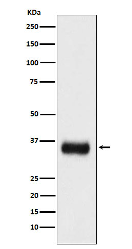 Figure 1. Western blot analysis of SRSF1 using anti-SRSF1 antibody (M00497).<br>Electrophoresis was performed on a 5-20% SDS-PAGE gel at 70V (Stacking gel) / 90V (Resolving gel) for 2-3 hours. The sample well of each lane was loaded with 50ug of sample under reducing conditions. <br>After Electrophoresis, proteins were transferred to a Nitrocellulose membrane at 150mA for 50-90 minutes. Blocked the membrane with 5% Non-fat Milk/ TBS for 1.5 hour at RT. The membrane was incubated with rabbit anti-SRSF1 antigen affinity purified polyclonal antibody (Catalog # M00497) at 0.5 ug/mL overnight at 4°C, then washed with TBS-0.1%Tween 3 times with 5 minutes each and probed with a goat anti-Rabbit IgG IgG-HRP secondary antibody at a dilution of 1:10000 for 1.5 hour at RT. The signal is developed using an Enhanced Chemiluminescent detection (ECL) kit (Catalog # SA1022) with Tanon 5200 system. A specific band was detected for SRSF1.