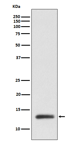 Figure 1. Western blot analysis of RBX1 using anti-RBX1 antibody (M00524).<br>Electrophoresis was performed on a 5-20% SDS-PAGE gel at 70V (Stacking gel) / 90V (Resolving gel) for 2-3 hours. The sample well of each lane was loaded with 50ug of sample under reducing conditions. <br>After Electrophoresis, proteins were transferred to a Nitrocellulose membrane at 150mA for 50-90 minutes. Blocked the membrane with 5% Non-fat Milk/ TBS for 1.5 hour at RT. The membrane was incubated with rabbit anti-RBX1 antigen affinity purified polyclonal antibody (Catalog # M00524) at 0.5 ug/mL overnight at 4°C, then washed with TBS-0.1%Tween 3 times with 5 minutes each and probed with a goat anti-Rabbit IgG IgG-HRP secondary antibody at a dilution of 1:10000 for 1.5 hour at RT. The signal is developed using an Enhanced Chemiluminescent detection (ECL) kit (Catalog # SA1022) with Tanon 5200 system. A specific band was detected for RBX1.