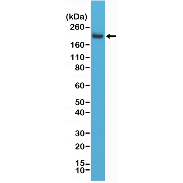 Figure 1. Western Blotting result<br>Western Blot of Jurkat cell lysates using anti-CD45 rabbit monoclonal antibody (clone RM291) at a 1:2,000 dilution.