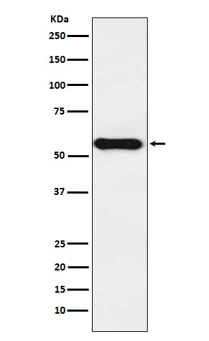 Figure 1. Western blot analysis of CYP1A2 using anti-CYP1A2 antibody (M00598).<br>Electrophoresis was performed on a 5-20% SDS-PAGE gel at 70V (Stacking gel) / 90V (Resolving gel) for 2-3 hours. The sample well of each lane was loaded with 50ug of sample under reducing conditions. <br>After Electrophoresis, proteins were transferred to a Nitrocellulose membrane at 150mA for 50-90 minutes. Blocked the membrane with 5% Non-fat Milk/ TBS for 1.5 hour at RT. The membrane was incubated with rabbit anti-CYP1A2 antigen affinity purified polyclonal antibody (Catalog # M00598) at 0.5 ug/mL overnight at 4°C, then washed with TBS-0.1%Tween 3 times with 5 minutes each and probed with a goat anti-Rabbit IgG IgG-HRP secondary antibody at a dilution of 1:10000 for 1.5 hour at RT. The signal is developed using an Enhanced Chemiluminescent detection (ECL) kit (Catalog # SA1022) with Tanon 5200 system. A specific band was detected for CYP1A2.