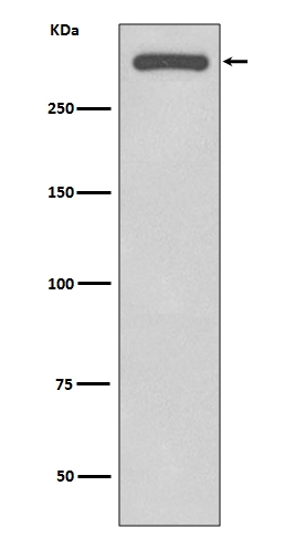 Western blot analysis of DNA-PKcs expression in HeLa cell lysate (M00645).