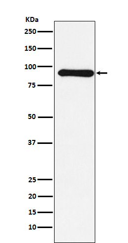 Figure 1. Western blot analysis of CUL1 using anti-CUL1 antibody (M00658).<br>Electrophoresis was performed on a 5-20% SDS-PAGE gel at 70V (Stacking gel) / 90V (Resolving gel) for 2-3 hours. The sample well of each lane was loaded with 50ug of sample under reducing conditions. <br>After Electrophoresis, proteins were transferred to a Nitrocellulose membrane at 150mA for 50-90 minutes. Blocked the membrane with 5% Non-fat Milk/ TBS for 1.5 hour at RT. The membrane was incubated with rabbit anti-CUL1 antigen affinity purified polyclonal antibody (Catalog # M00658) at 0.5 ug/mL overnight at 4°C, then washed with TBS-0.1%Tween 3 times with 5 minutes each and probed with a goat anti-Rabbit IgG IgG-HRP secondary antibody at a dilution of 1:10000 for 1.5 hour at RT. The signal is developed using an Enhanced Chemiluminescent detection (ECL) kit (Catalog # SA1022) with Tanon 5200 system. A specific band was detected for CUL1.